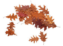 Autumn dried leafs of oak Royalty Free Stock Images
