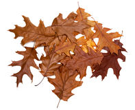 Autumn dried leafs of oak Royalty Free Stock Photo
