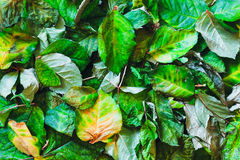 Autumn dried leaves on ground.  Top view. Autumn dried leaves on ground. Green foliage background. Top view Royalty Free Stock Image