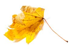 Autumn dried maple leaf Stock Photography