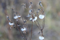 Autumn dried plant Royalty Free Stock Image