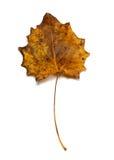 Autumn dried quaking aspen leaf. Autumn dried quaking aspen Populus tremula leaf isolated on white background Royalty Free Stock Photos