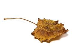 Autumn dried quaking aspen (Populus tremula) leaf Royalty Free Stock Images
