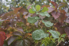 Autumn. Drops of rain fell on the Ivy leaf Stock Image