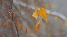 Autumn Dry-blad van een berk op naakte tak stock videobeelden