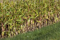 Autumn dry corn Royalty Free Stock Photography