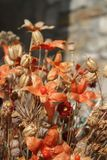 Autumn dry flowers Royalty Free Stock Image