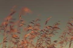 Autumn dry grass Royalty Free Stock Photo
