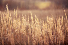 Autumn dry grass sedge Royalty Free Stock Images