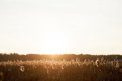 Autumn dry grass sedge Royalty Free Stock Photos