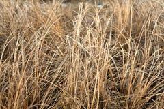 Autumn dry grass sedge Stock Image