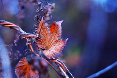 Autumn dry leaf in a cold morning. Grape leaves after sunrise, cold atmosphere Royalty Free Stock Photos