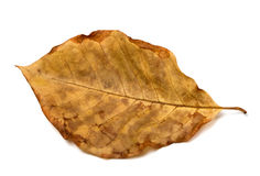 Free Autumn Dry Leaf Of Walnut Tree Stock Images - 97660544
