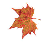 Autumn dry leaf of red oak tree Stock Image