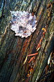 Autumn dry leaf on wood Royalty Free Stock Photography