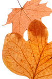 Autumn dry leaves. Royalty Free Stock Photography