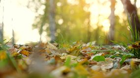 Autumn dry leaves falling on ground in autumn park. Beautiful autumn forest with sun shining. 3840x2160. Autumn dry leaves falling on ground in autumn park in stock video footage