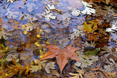 Autumn dry leaves in a pool. Royalty Free Stock Image