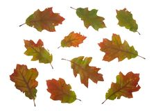 Autumn dry leaves of red oak tree Stock Photos