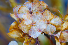 Autumn dry lilac flower Royalty Free Stock Photo