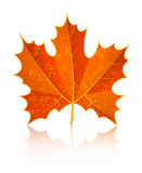 Autumn dry maple leaf Stock Photos