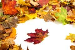Autumn dry maple leafs Stock Photo