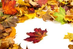 Autumn dry maple leafs Stock Photo
