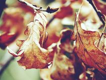 The autumn. The leaves on the tree. Autumn. Dry maple leaves on a tree Stock Photos