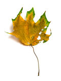 Autumn dry multicolor maple leaf with holes. On white background Stock Image