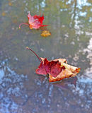 Autumn dry red maple leaf on a water surface Royalty Free Stock Photos