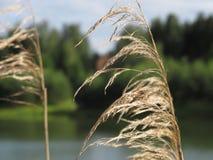 Autumn Dry Sedge Grass sur le lac Lettonie 2014 Photo libre de droits
