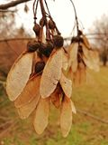 Autumn dry seed, macro, in the park stock photos