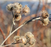 Autumn dry thorn thistles Royalty Free Stock Photography