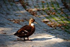 Autumn duck nature Stock Images