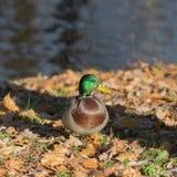 Autumn duck Stock Images
