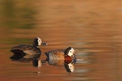 Autumn Ducks Royalty Free Stock Photos