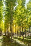 Autumn early fall forest with yellow poplar trees Royalty Free Stock Images
