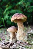 Autumn edible mushrooms Stock Images