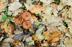 Autumn edible mushrooms Honey fungus Armillaria mellea grow in t Royalty Free Stock Images