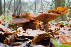 Autumn edible mushrooms Honey fungus Armillaria mellea growing Stock Photos