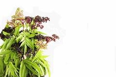 Autumn Elder Berries è Rich Food Source Fotografia Stock