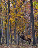 Autumn elk Royalty Free Stock Images