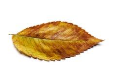 Autumn Elm leaf on white. Stock Photos