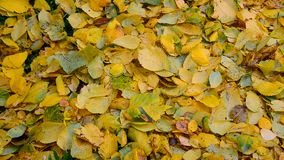 Autumn elm leaves fall to ground. Autumn elm leaves fall to the ground stock video