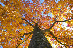 Autumn elm tree with the sky above. An elm tree turning yellow and red during autumn, looking up its trunk to the sky through the canopy stock photography