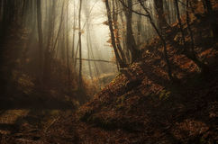 Autumn enchanted forest with sun rays and fog. Enchanted autumn forest with fog, sun rays and beautiful colors royalty free stock photo