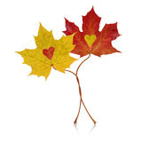 Autumn Entwined. Entwined Autumn Red and Yellow Maple Leaves Stock Photo