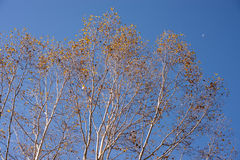 Autumn erman`s birch trees Royalty Free Stock Images
