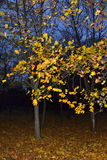 Autumn evening copse scenery Royalty Free Stock Photography