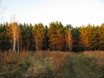 Autumn. Evening in the autumn forest Royalty Free Stock Image